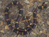 Coral Snake (Micrurus Fulvius Tenere), Texas, USA Photographic Print by Gary Meszaros