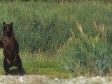 A Brown or Grizzly Bear Standing Upright, Ursus Arctos, Katmai National Park, Alaska, USA Photographic Print by Joe McDonald