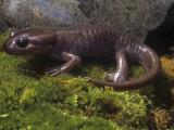 Brown Salamander, Ambystoma Gracile Gracile, California, USA Photographic Print by Gerold & Cynthia Merker