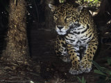 Jaguar Stalking, Panthera Onca, Central America Photographic Print by James Beveridge