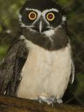 Spectacled Owl, Pulsatrix Perspicillata, Central and South America Fotoprint van Joe McDonald