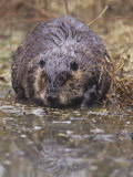 A Beaver on the Shoreline (Castor Canadensis), North America Photographic Print by Steve Maslowski