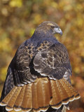 Red-Tailed Hawk, Buteo Jamaicensis, Perched While Hunting and Showing its Red Tail Feathers Photographic Print by Jack Michanowski