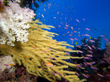 Alconarian and Gorgonian Coral with Schooling Anthias Dominate This Fijian Reef Scene Photographic Print by David Fleetham