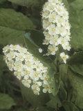 Choke Cherry Flowers, Prunus Virginiana, Eastern North America Photographic Print by Jana Jirak