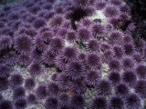 Purple Sea Urchin (Strongylocentrotus Purpuratus), Pacific Coast of North America Fotoprint van Richard Herrmann