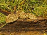 Prairie Rattlesnake, Crotalus Viridis Viridis Photographic Print by Jack Michanowski