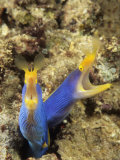 Pair of Blue Ribbon Eels., Rhinomuraena Quaesita, Indonesia Fotografie-Druck von David Fleetham