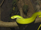 Green Mamba Photographic Print by Reinhard Dirscherl
