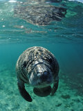 West Indian Manatee, Calf, Trichechus Manatus Latirostris, Usa, Florida, Fl, Crystal River Photographic Print by Reinhard Dirscherl