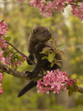 Fisher, Martes Pennanti, Juvenile in a Flowering Tree, North America Photographic Print by Jack Michanowski