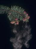 Female Norway Spruce Male Cones Releasing Pollen, Picea Abies Photographic Print by Jerome Wexler