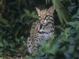 Ocelot, Felis Pardalis, a Threatened Species of Wild Cat, Southern Usa into South America Photographic Print by Adam Jones