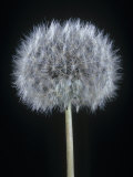 Dandelion Seed Head, Taraxacum Officinale Photographic Print by Jerome Wexler