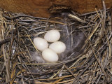 Violet-Green Swallow Nest with Four Eggs, Tachycineta Thalassina, North America Fotografisk trykk av Charles Melton