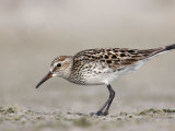 White-Rumped Sandpiper in Breeding Plumage (Calidris Fuscicollis) Florida, USA Photographic Print by Arthur Morris