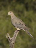 Mourning Dove (Zenaida Macroura) on a Snag, North America Photographic Print by Charles Melton