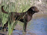 Chesapeake Bay Retriever Variety of Domestic Dog Photographic Print by Cheryl Ertelt