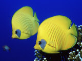 Masked Butterflyfish Egypt, Africa, Red Sea Photographie par Reinhard Dirscherl