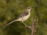 Northern Mockingbird (Mimus Polyglottos) on a Snag, North America Photographic Print by Charles Melton