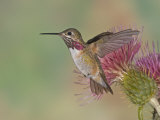 Calliope Hummingbird (Stellula Calliope).Male.Smallest Hummingbird Which Migrates to United States Photographic Print by Jack Michanowski