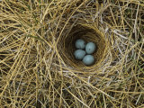 Red-Winged Blackbird Nest with Four Eggs in a Marsh, Agelaius Phoeniceus, North America Papier Photo par John & Barbara Gerlach