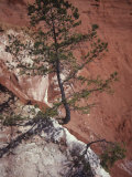Geotropism of a Pine, Pinus, on the Banks of Eroded Providence Canyon, Georgia, USA Photographic Print by Joel Arrington