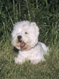 West Highland White Terrier Variety of Domestic Dog Photographic Print by Cheryl Ertelt