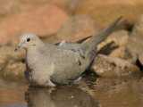 Mourning Dove Drinking, Zenaida Macroura, . North America Photographic Print by Joe McDonald