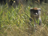 Patas Monkey in Grasses, Erythrocebus Patas, East Africa Photographic Print by Adam Jones