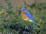 Male Eastern Bluebird (Sialia Sialis) on Juniper, North America. Missouri State Bird Fotografisk tryk af Steve Maslowski