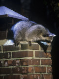 Raccoon (Procyon Lotor) Exploring a Chimney on a House, North America Photographie par Steve Maslowski