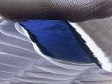 Mallard Duck Speculum Feathers (Anas Platyrhynchos), North America Photographic Print by Gary Meszaros