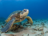 Green Sea Turtle (Chelonia Mydas), an Endangered Species, Hawaii, USA Lmina fotogrfica por David Fleetham
