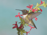 Ruby-Throated Hummingbird, Archilochus Colubris, Male, Eastern North America Photographic Print by Jack Michanowski