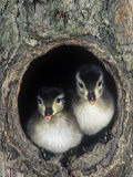 Two Wood Duck Young Peering from their Nest Hole in a Tree, Aix Sponsa, North America Photographie par Joe McDonald