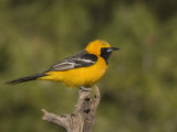 Hooded Oriole Male (Icterus Cucullatus) on a Snag, Arizona, USA Photographic Print by Charles Melton