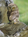 Northern Saw-Whet Owl, Aegolius Acadius, North America Photographic Print by Gerald & Buff Corsi