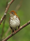 Wood Thrush, Hylocichla Mustelina, Eastern North America Papier Photo par Adam Jones