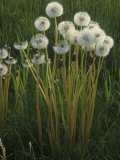 Dandelion Seed Heads in a Lawn (Taraxacum Officinale), North America Photographic Print by Steve Maslowski
