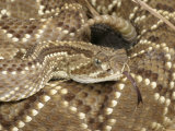 South American Rattlesnake, , Crotalus Durissus Terrificus, Adult, South America Photographic Print by Jim Merli