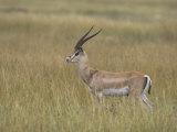 Buck Grant's Gazella, Gazella Granti, Kenya, Africa Photographic Print by John & Barbara Gerlach