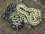 Color Variation in California King Snakes, Lampropeltis Getulus, California, USA Photographic Print by Jim Merli