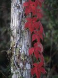 Fall Virginia Creeper Vine Growing Up a Tree Trunk, Parthenocissus Quinquefolia, North America Photographic Print by Fritz Polking