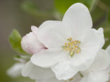 Apple Blossom in the Spring Reproduction photographique
