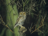 Elf Owl (Micrathene Whitneyi), Arizona, USA Photographic Print by Rick & Nora Bowers