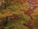 Sugar Maples Changing Colors in the Fall (Acer Saccharum), North America Photographic Print by Mark Schneider