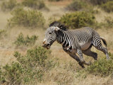 GrevyS Zebra Running, Samburu Game Reserve, Kenya, Equus Grevyi Photographic Print by Adam Jones