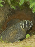 American Badger at its Den Opening, Taxidea Taxus, North America Photographic Print by Jack Michanowski