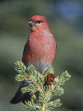 Pine Grosbeak (Pinicola Enucleator), Alaska, USA Photographie par Tom Walker